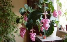 piante-fiorite-da-appartamento