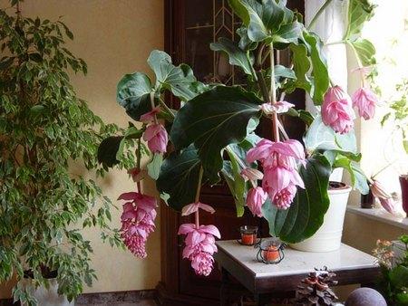 Pollice verde e pollice nero - Piante fiorite da appartamento ...
