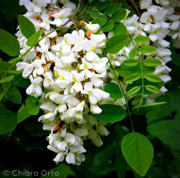 Fiore di acacia