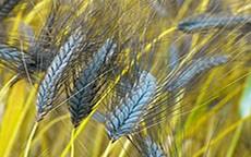 Parliamo di cereali: le caratteristiche del farro.